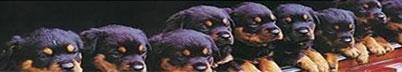 Rottweiler vom Krummen Acker